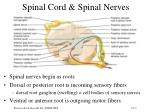spinal cord spinal nerves