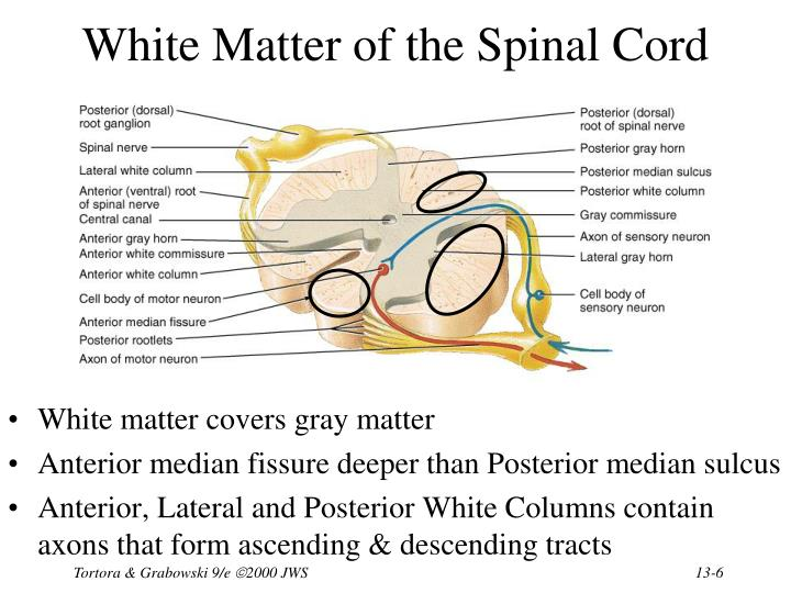 White Matter of the Spinal Cord