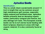 aphodius beetle1