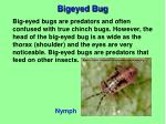 bigeyed bug1