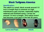 black turfgrass ataenius1