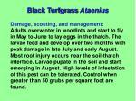 black turfgrass ataenius2