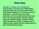 chinch bug1