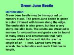 green june beetle1