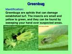 greenbug1