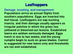 leafhoppers2