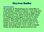 may june beetles1