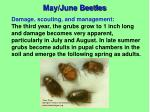 may june beetles3