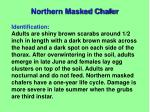northern masked chafer1