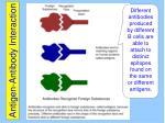 antigen antibody interaction1