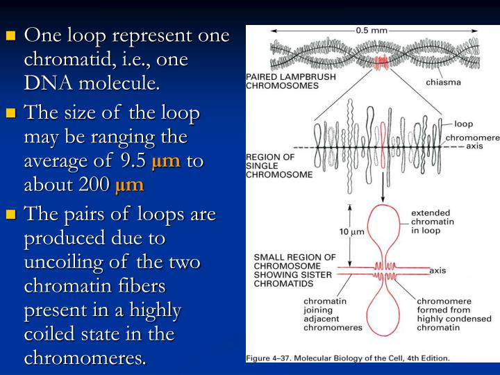 One loop represent one chromatid, i.e., one DNA molecule.