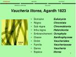 vaucheria litorea agardh 1823