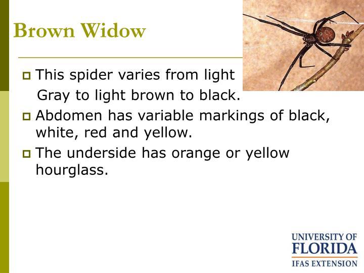 Brown Widow