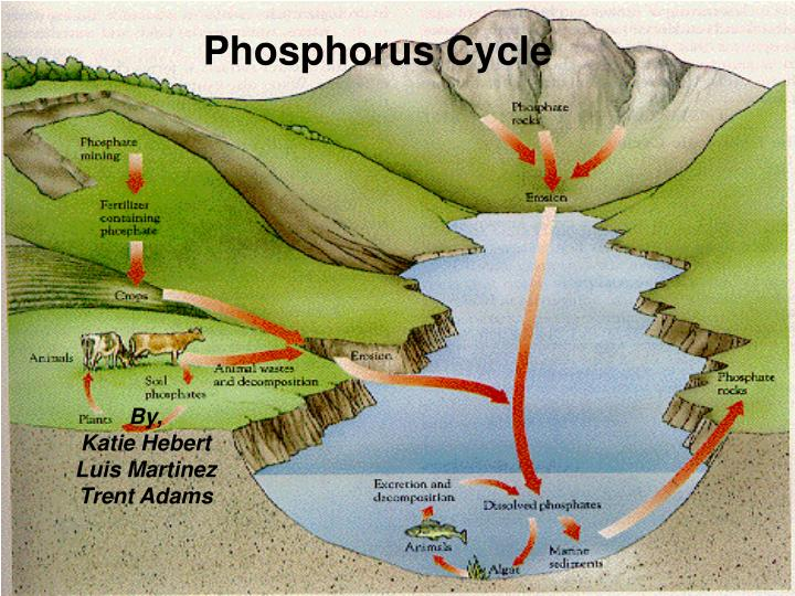 phosphorus cycle n.