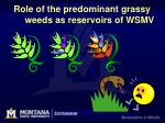 role of the predominant grassy weeds as reservoirs of wsmv