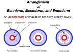 arrangement of ectoderm mesoderm and endoderm