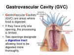 gastrovascular cavity gvc