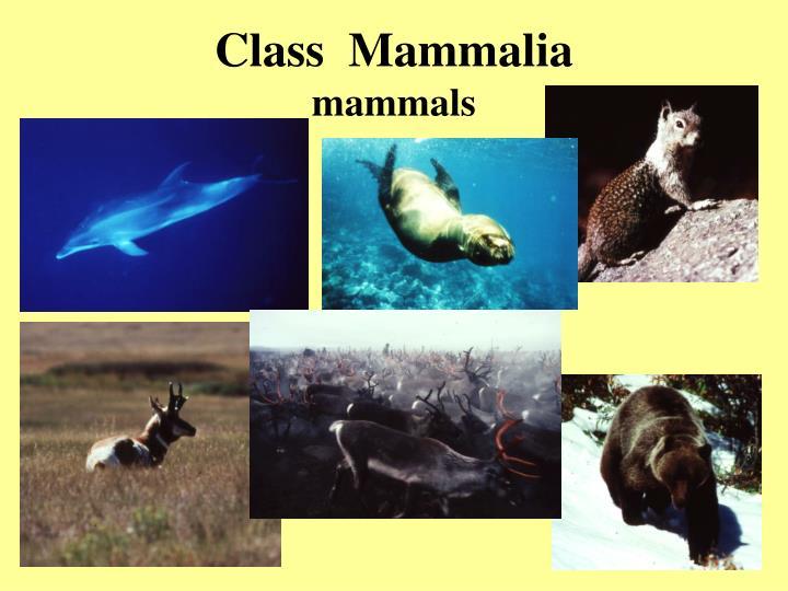 class mammalia mammals n.