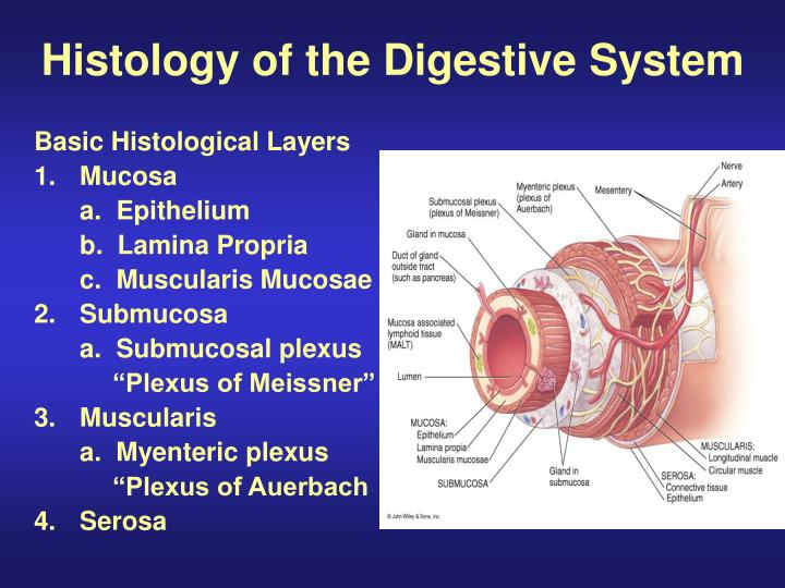 histology of the digestive system n.