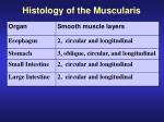 histology of the muscularis