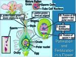 pollination and fertilization in a flower