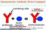 immunotoxin antibody toxin conjugate