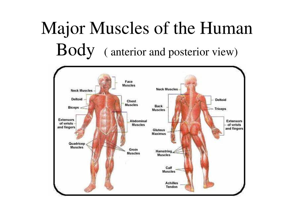 Ppt Major Muscles Of The Human Body Anterior And Posterior View