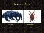 common mites