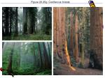 figure 20 25g coniferous forests
