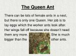 the queen ant