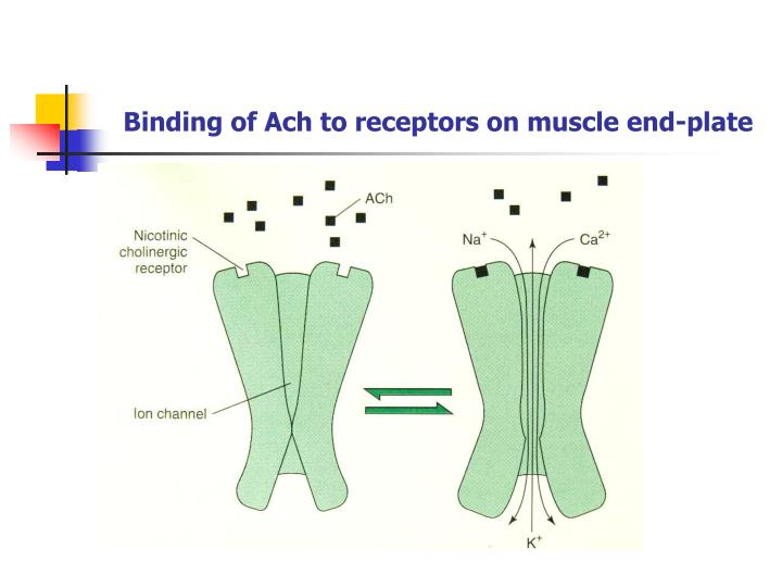 Binding of Ach to receptors on muscle end-plate