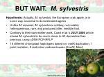 but wait m sylvestris