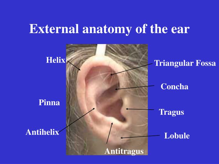 Ppt External Anatomy Of The Ear Powerpoint Presentation Id1196538