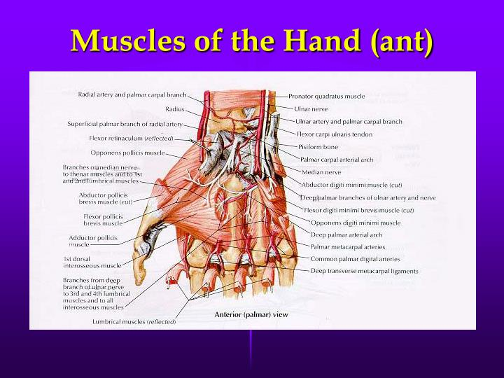 Muscles of the Hand (ant)
