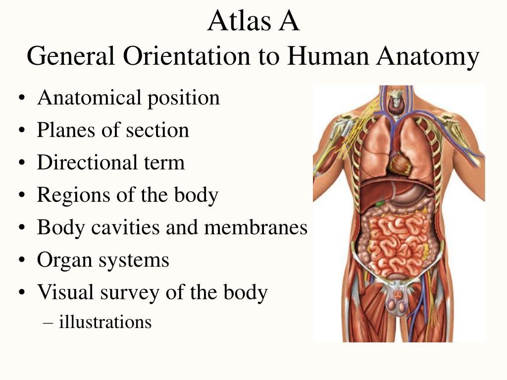 Ppt Atlas A General Orientation To Human Anatomy Powerpoint