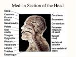 median section of the head