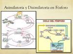 asimilatoria y disimilatoria en f sforo