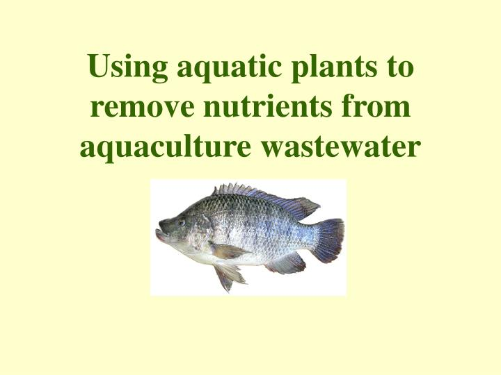 using aquatic plants to remove nutrients from aquaculture wastewater n.