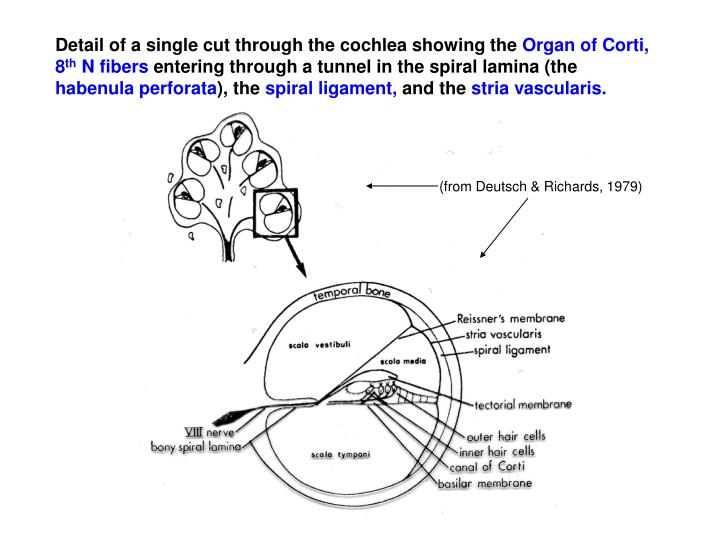 Detail of a single cut through the cochlea showing the