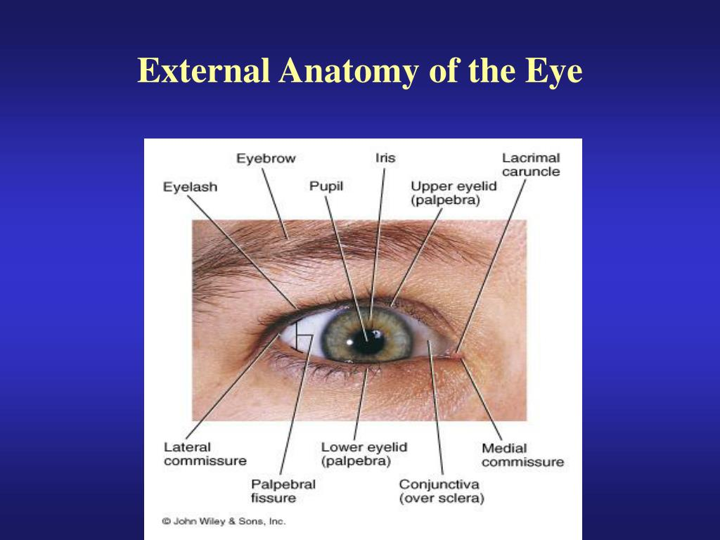 PPT - External Anatomy of the Eye PowerPoint Presentation - ID:1197235