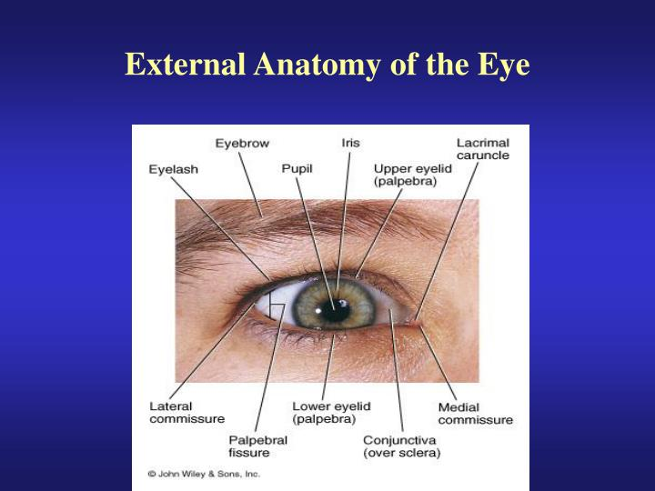 Ppt External Anatomy Of The Eye Powerpoint Presentation Id1197235