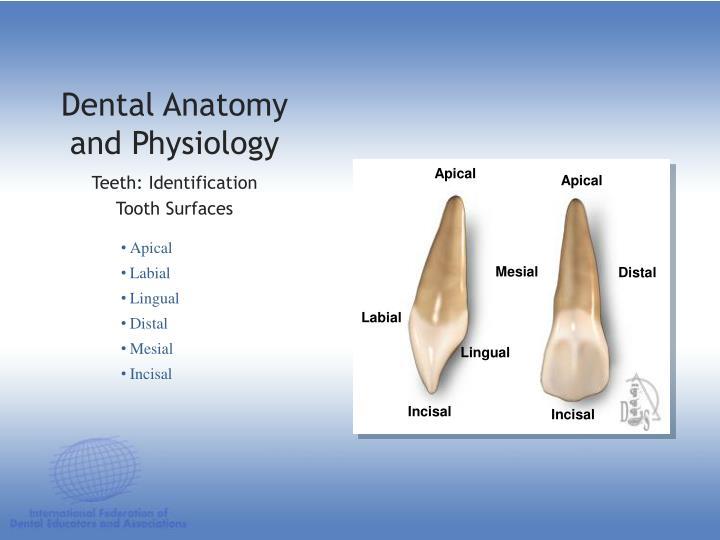 PPT - DENTAL ANATOMY & PHYSIOLOGY PowerPoint Presentation - ID:1197243