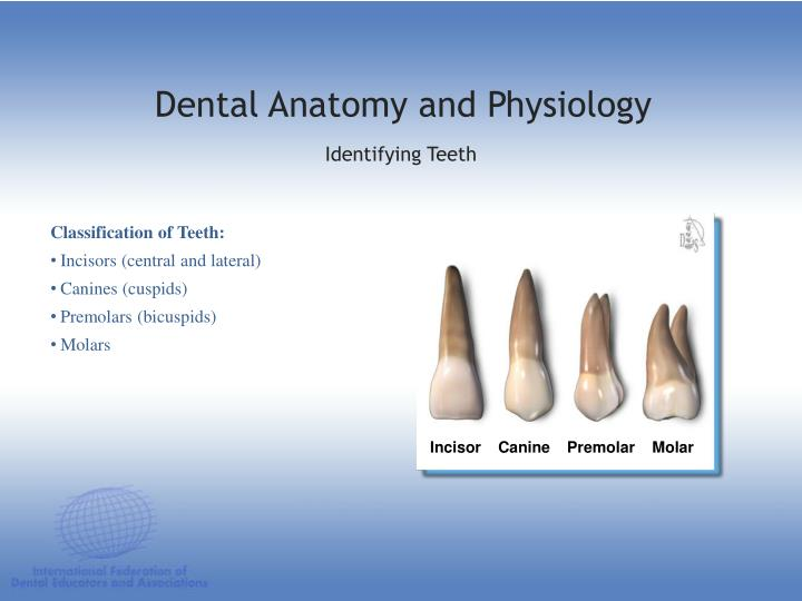 Ppt Dental Anatomy Physiology Powerpoint Presentation Id1197243