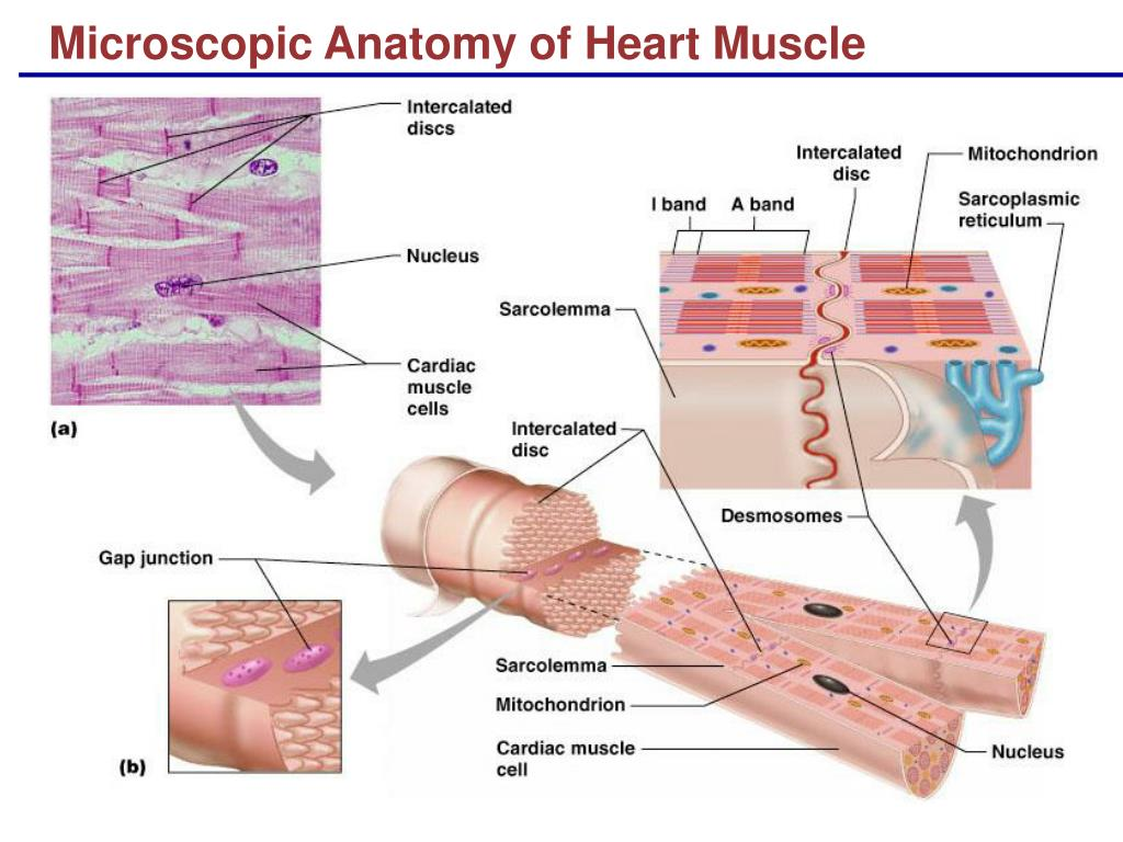 Ppt Microscopic Anatomy Of Heart Muscle Powerpoint Presentation