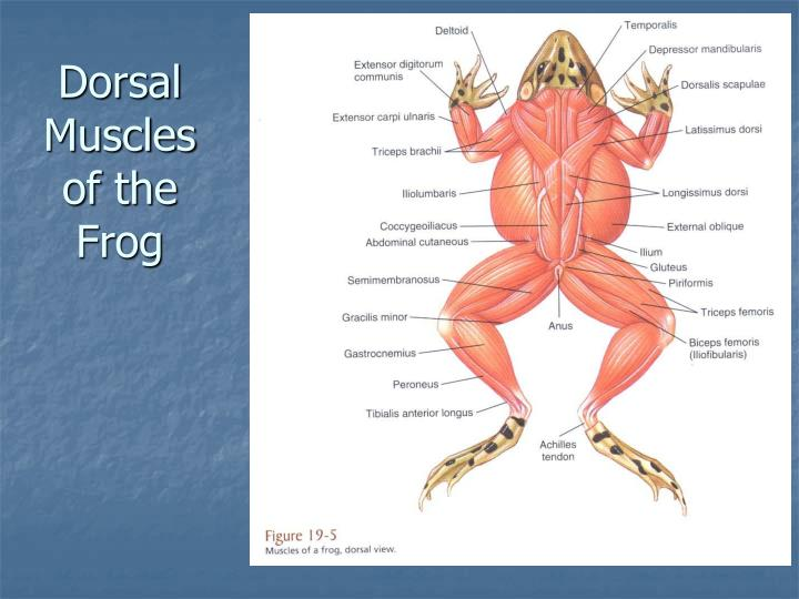 Dorsal Muscles of the Frog