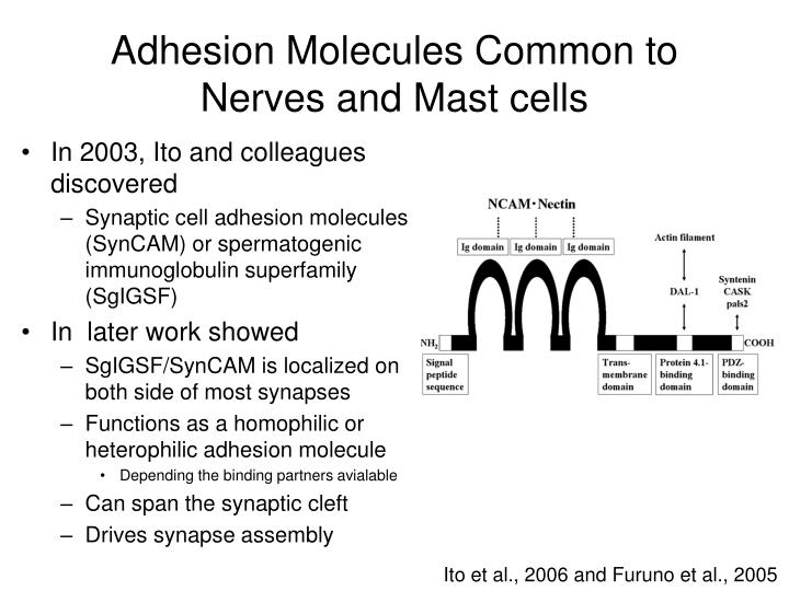 Adhesion Molecules Common to Nerves and Mast cells