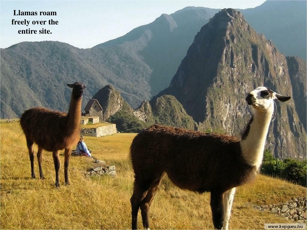 Llamas roam freely over the entire site.
