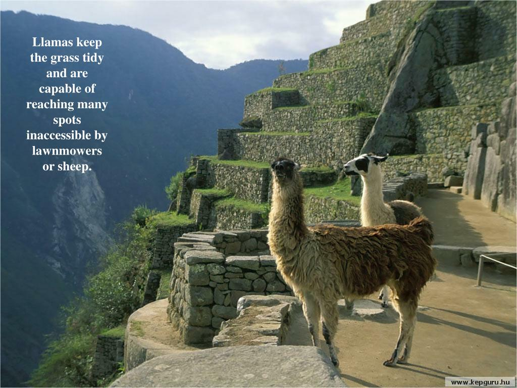 Llamas keep the grass tidy and are capable of reaching many spots inaccessible by lawnmowers    or sheep.