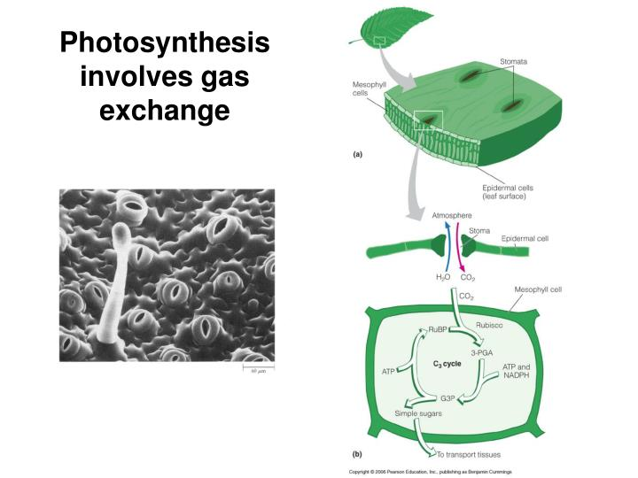 Photosynthesis involves gas exchange