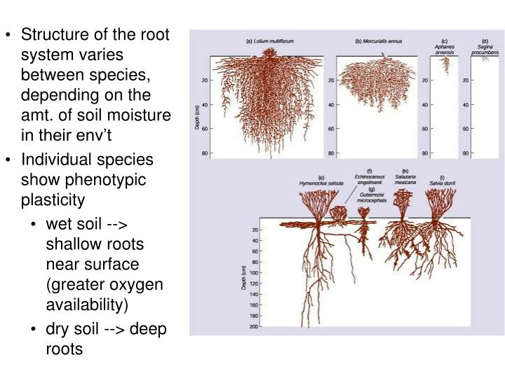 Structure of the root system varies between species, depending on the amt. of soil moisture in their env't